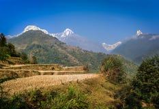 Рис fields на треке базового лагеря Annapurna, Непале стоковые изображения