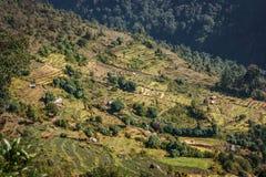 Рис fields на треке базового лагеря Annapurna, Непале стоковые фотографии rf