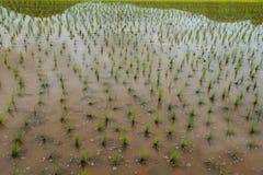 Рис fields, террасы, плантация, ферма Органический азиатский рис f стоковая фотография