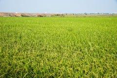 Рис Fram тайского Стоковое фото RF