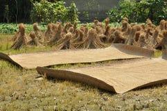 рис pengzhou зерен засыхания фарфора Стоковые Фото