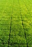 Рис Sapling, экспорты риса Соутю Еаст Асиа Стоковое Фото