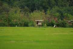 Рис Sawa в Kota Marudu Сабахе Стоковые Изображения