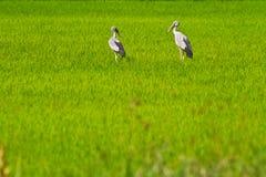 рис thr поля птиц Стоковое Изображение