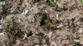 Ритуал брачного полета, который подогнали муравьи акции видеоматериалы