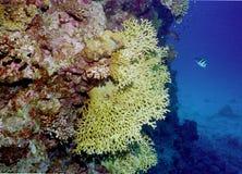 риф жизни коралла подводный Стоковые Фотографии RF