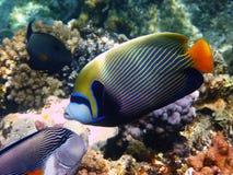 риф императора angelfish Стоковые Изображения RF