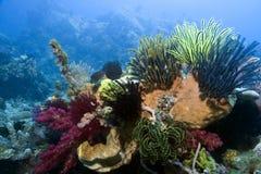 риф индонезийца коралла Стоковые Фотографии RF