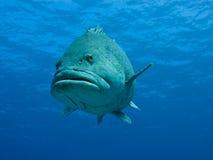 риф картошки стороны трески барьера гигантский большой Стоковая Фотография