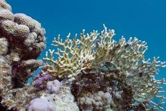 риф кораллов коралла трудный Стоковые Фото