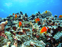 риф рыб коралла Стоковое Изображение RF