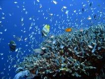 риф рыб коралла Стоковые Изображения RF