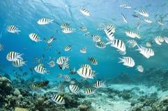 риф рыб damsel коралла Стоковые Фотографии RF
