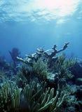 риф elkhorn Стоковые Изображения