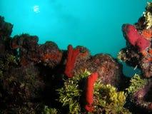 риф florida коралла южный Стоковые Изображения