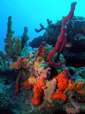 риф florida коралла южный Стоковое фото RF