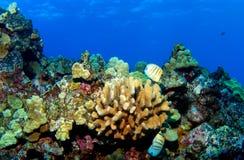 риф kona Стоковая Фотография RF