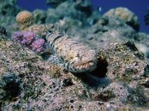 риф lizardfish Стоковые Фотографии RF