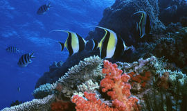 риф moorish идола Стоковые Фотографии RF
