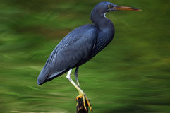 риф pacific egret Стоковое Изображение RF
