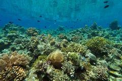 риф pacific indo коралла стоковая фотография