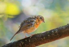 робины птенеца на ветви в парке Стоковые Фотографии RF
