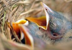 робин гнездя цыпленоков младенца Стоковые Фото