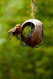 робин кокоса ый фидером Стоковое Изображение