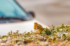 Робин на кусте около автомобиля в зиме Стоковые Изображения RF