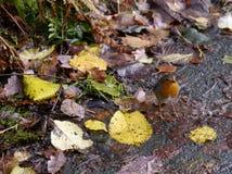 Робин на пути с листьями Стоковая Фотография