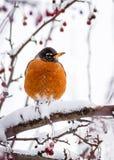 Холодные ноги - Робин в зиме Стоковая Фотография