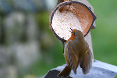 Робин подавая от половины раковины кокоса Стоковые Фотографии RF