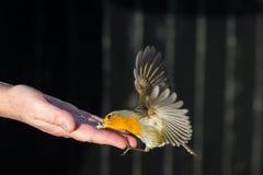 Робин принимает еду Стоковая Фотография RF