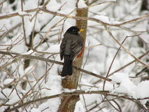 Робин садилось на насест на снежной ветви стоковые изображения rf