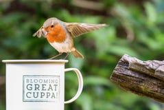 Робин сидело на чашке Стоковые Изображения RF