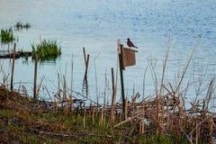 Робин стоя на крыше birdhouse прудом стоковые изображения rf