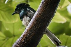 робин oriental magpie стоковое фото