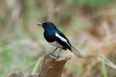 робин oriental magpie Стоковое Изображение RF