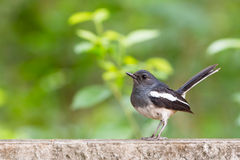 робин oriental magpie Стоковая Фотография RF