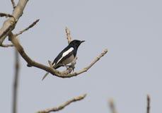 робин oriental magpie Стоковые Изображения