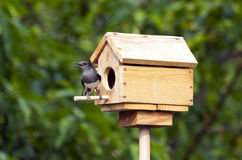 робин oriental magpie Стоковое фото RF