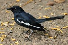 робин oriental magpie Стоковые Фотографии RF