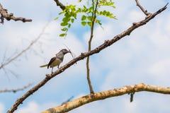 робин oriental magpie Стоковые Изображения RF
