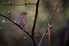 Робин Redbreast Стоковая Фотография RF
