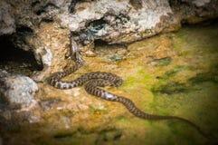 Ровная змейка, austriaca Coronella, в болгарской части Чёрного моря стоковое фото