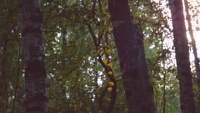 Ровное движение в зеленом лесе сток-видео