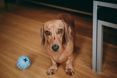 Ровный коричневый миниатюрный щенок таксы приглашая предпринимателя к pla стоковые изображения rf