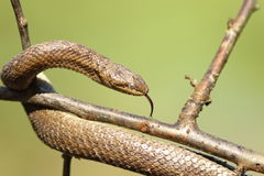 Ровный крупный план змейки над зеленой предпосылкой Стоковая Фотография RF