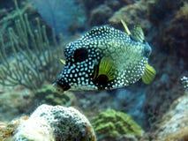 ровный trunkfish Стоковое Изображение RF