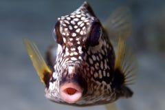 ровный trunkfish Стоковая Фотография